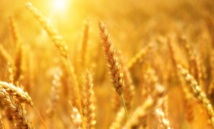 Tarwe met ingebouwde 'glutenvernietiger' biedt mogelijk soelaas voor glutenmijders