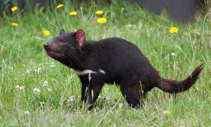 Melk Tasmaanse duivel mogelijk soelaas tegen antibioticaresistentie