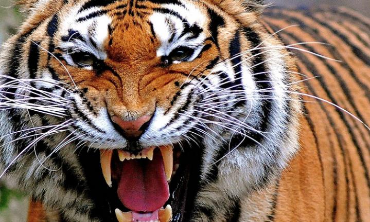 Handel in tijgerbotten en neushoornhoorns mag weer in China