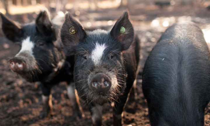 Nederland telt 36 vijfsterrenverblijven voor varkens