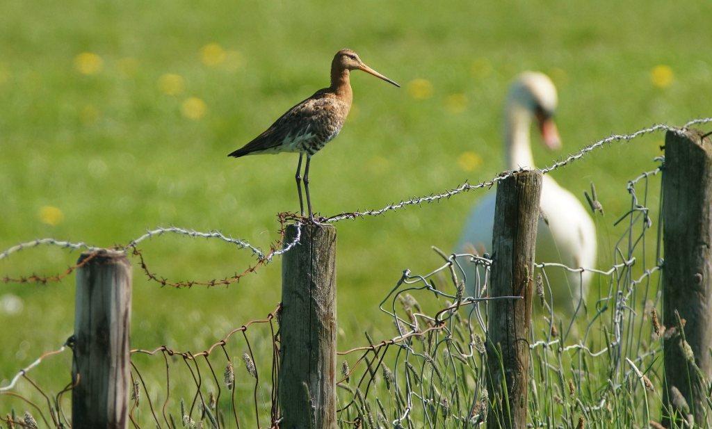 Ook afname weidevogels op biologische boerenbedrijven mogelijk gevolg van aanwezige pesticiden