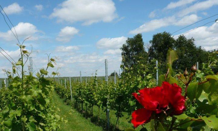 2016 goed jaar voor Nederlandse wijnbouw