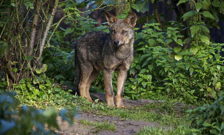 Drenthe geeft geld voor wolvenweermiddelen