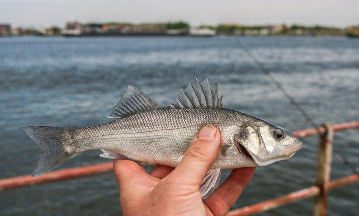 'Slechts 1 op de 10 sterrenrestaurants serveert uitsluitend duurzame vis'