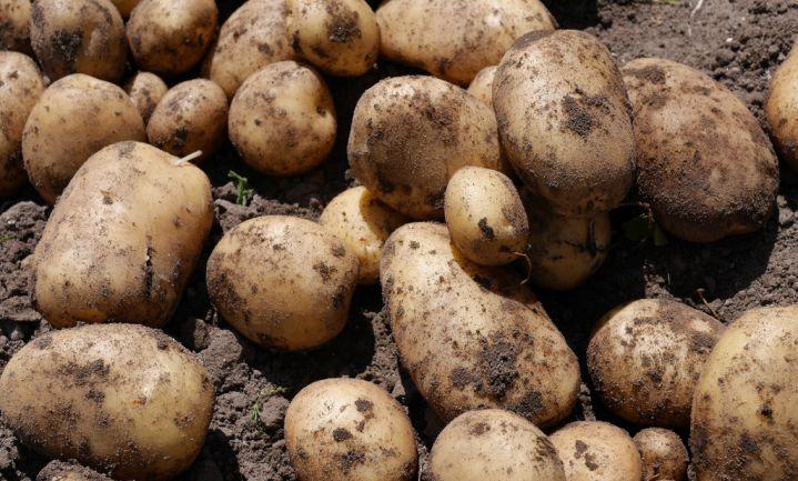 'Eisen gewasbescherming bedreigen Nederlandse aardappelteelt'