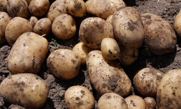 'Een aardappel groeit in de grond'