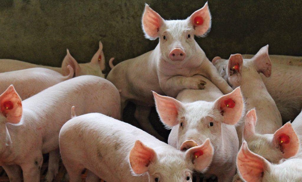 Unieke situatie in de wereld van het varkensvlees: hier laag inkopen, duur verkopen in China