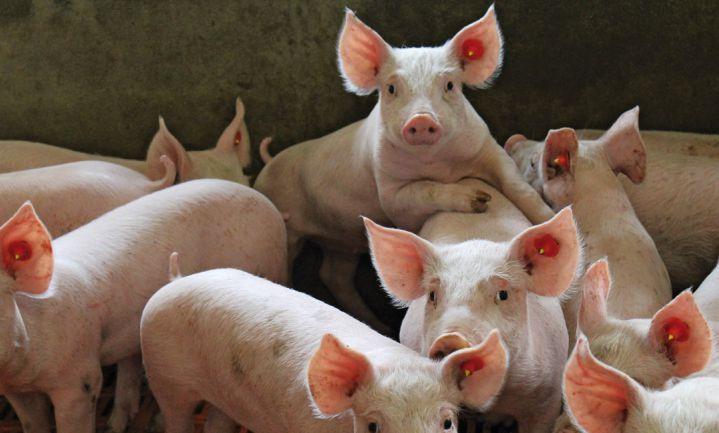 Chinese varkensverwerker Smithfield investeert in Polen