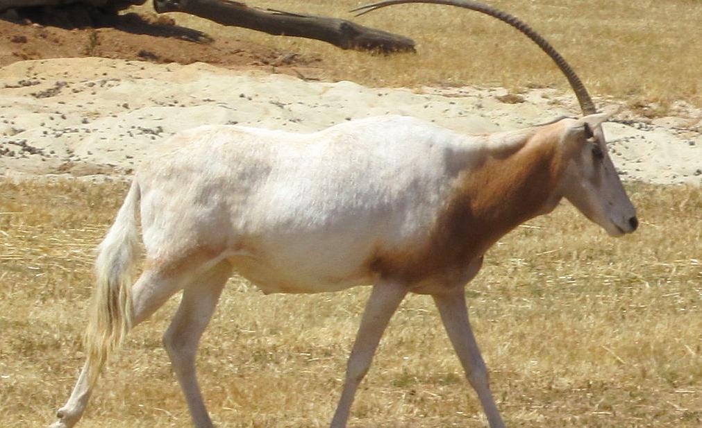 Uitgestorven antilope leeuwenvoer in Vlaamse dierentuin