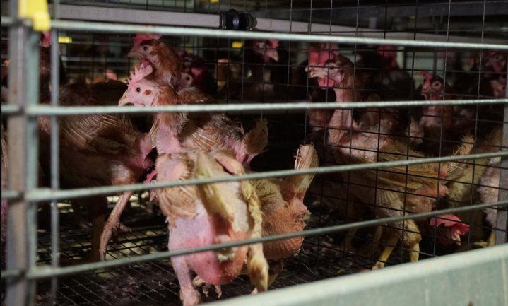 Boerenorganisaties willen filmacties Animal Rights tegengaan met hulp justitie en politie
