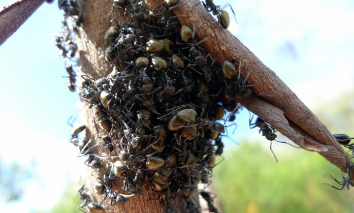 Mieren gedragen zich als ketchup en pudding