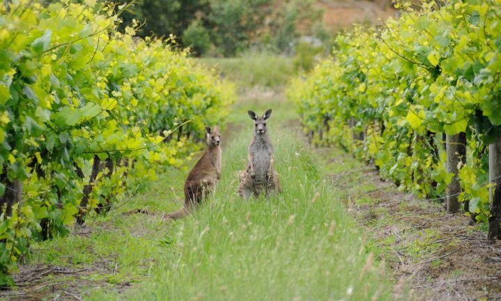 Australische wijnmaker wordt eerste zero-waste winery