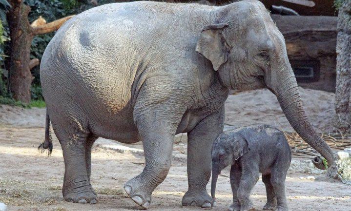 Olifanten zijn niet dik