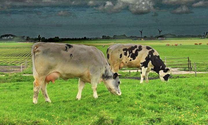 'Dijksma dreigt de Moeder van de Melkvee-industrie te worden'