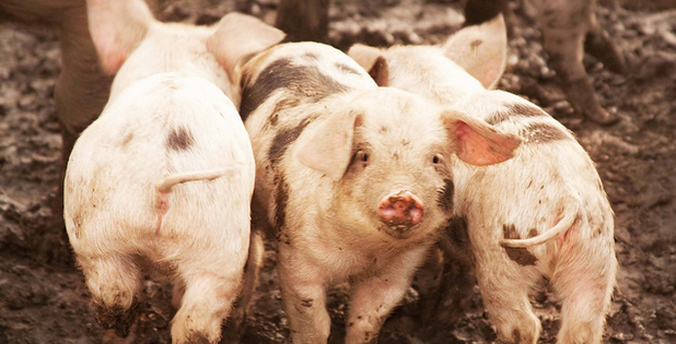China gaat Amerikaanse varkens maken