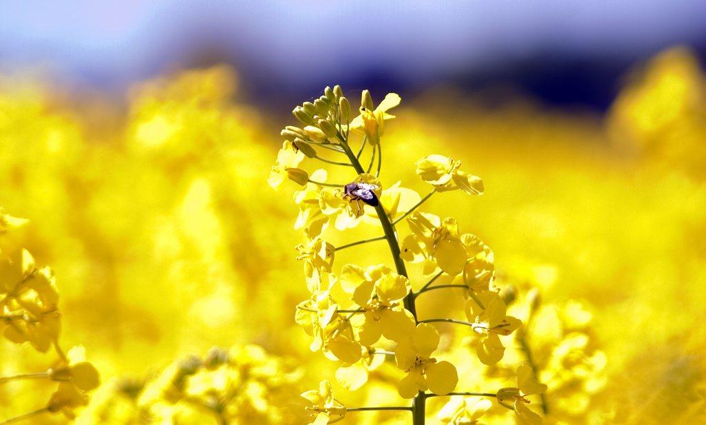 Neonics lijken echt schadelijk voor bijen