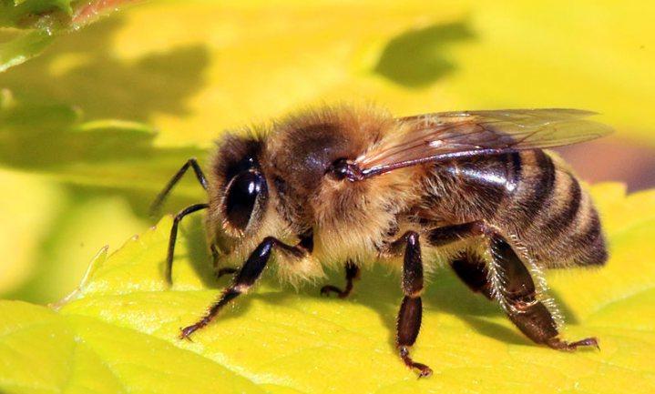 Schimmel mogelijk middel tegen bijensterfte