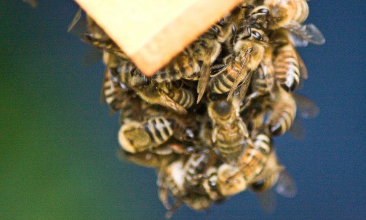 'Neonics nog steeds niet definitief schuldig aan bijensterfte'