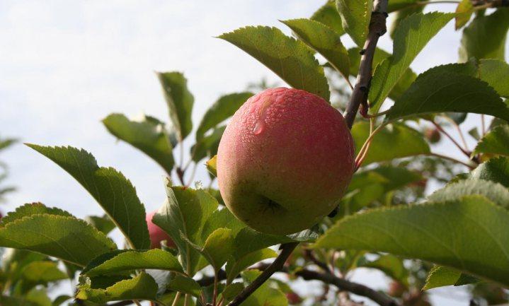 Zonder zwavelspuit geen biologisch fruit