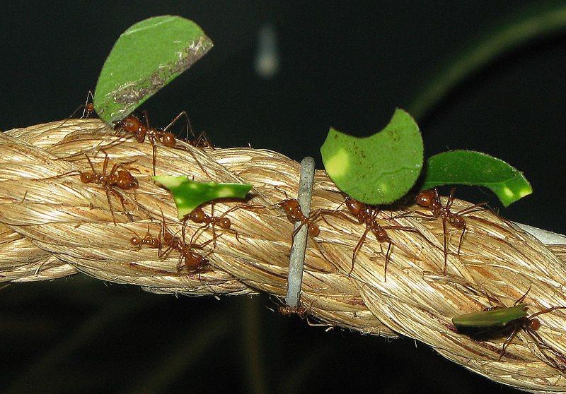 Opzienbarend: mieren blijken al 50 miljoen jaar te 'boeren'