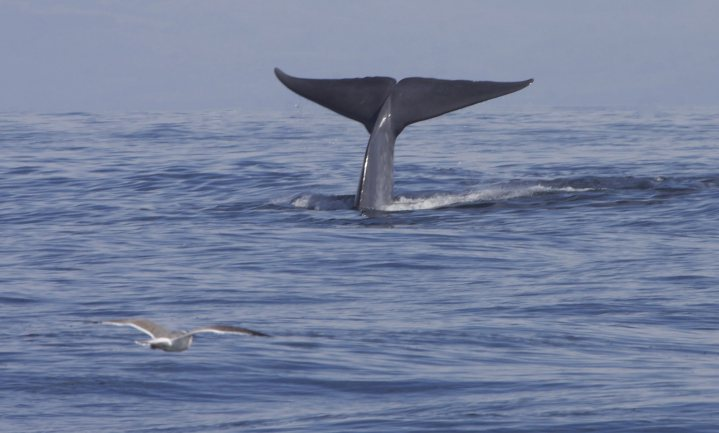 Expeditie walvispoep onderzoekt korte en duurzame voedselketen