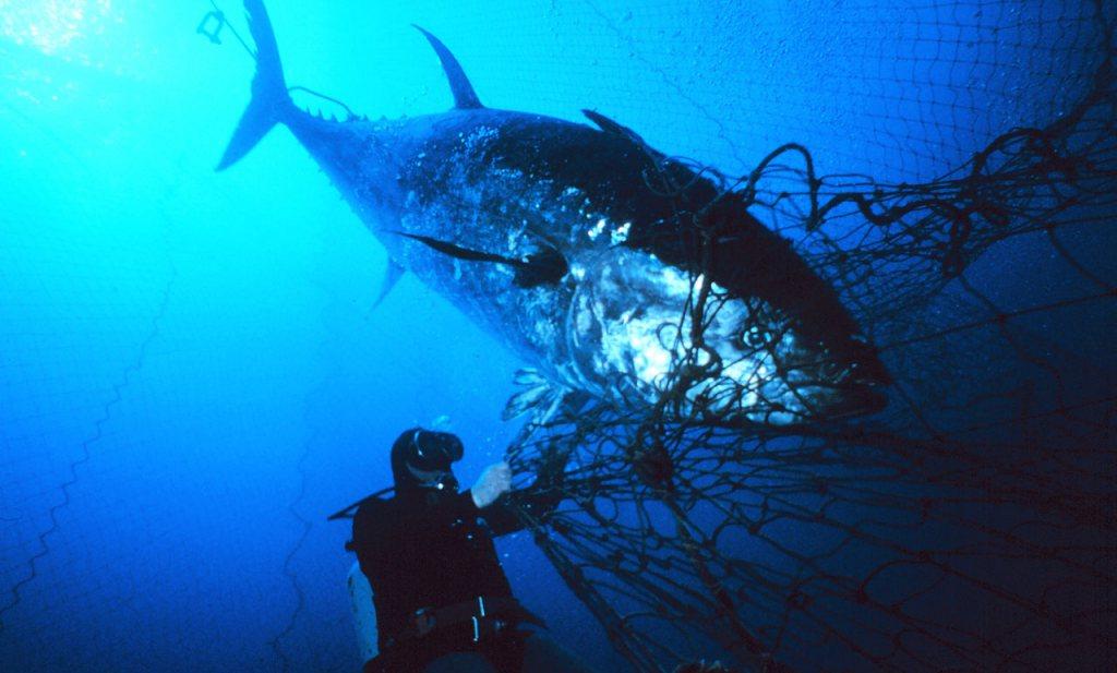 'Schone' tonijn uit klompje cellen moet het maken tegen wildvangst