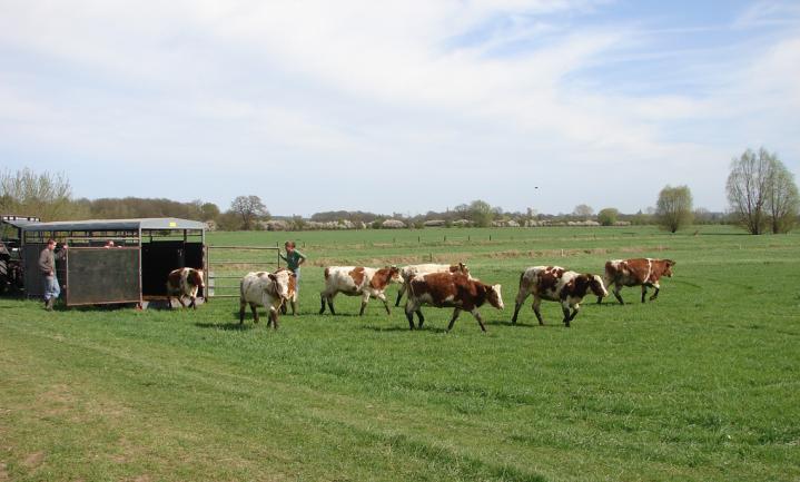 Meer koeien maar lege weiden