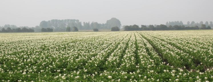Toch maar GMO biologische aardappels?