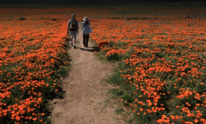 Uitbundige bloemengroei in California na droogte