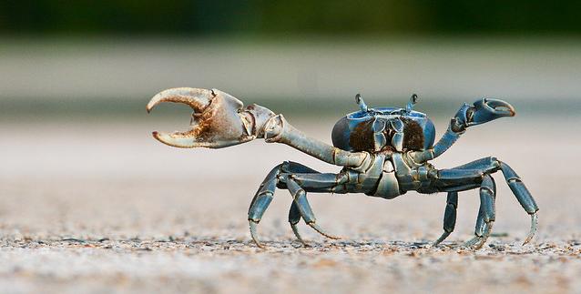 Culinair ontdekt: Slappe krab