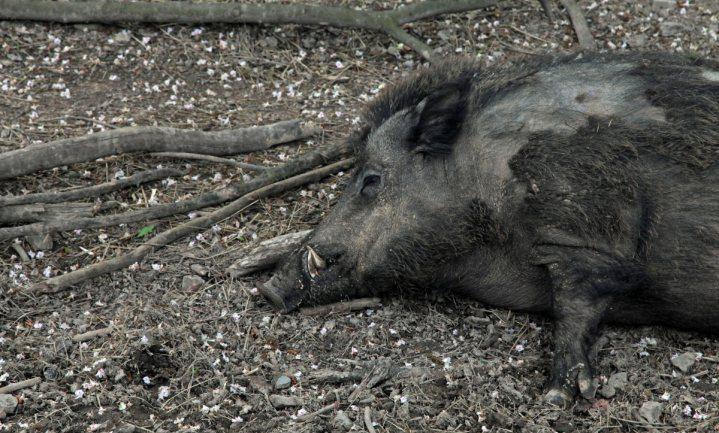 Vals alarm Afrikaanse varkenspest bij Berlijn, toch blijft het oppassen geblazen