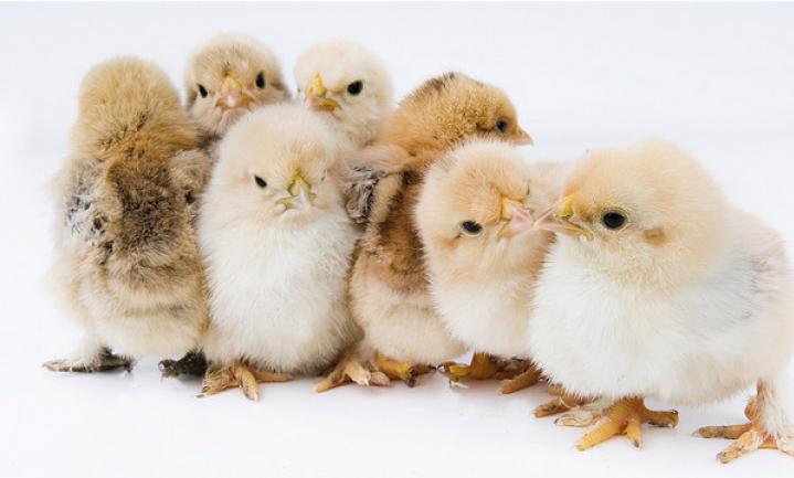 Partydrug in kippenvlees 'niet natuurlijk'