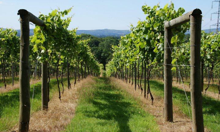 Nog nooit waren er zoveel Britse wijnboeren