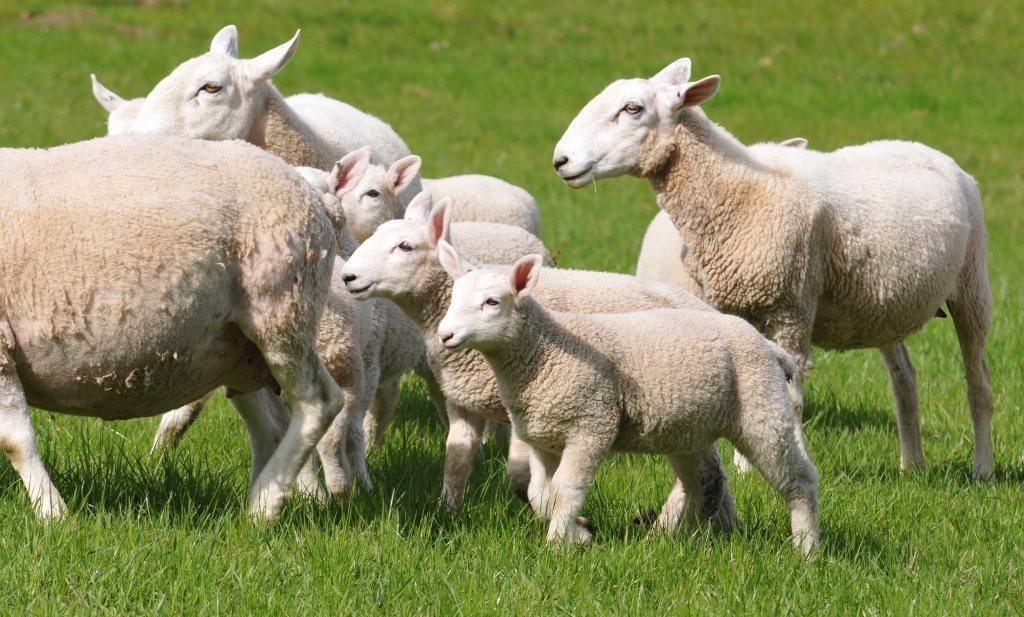 Britse boeren willen Brits lam in supers