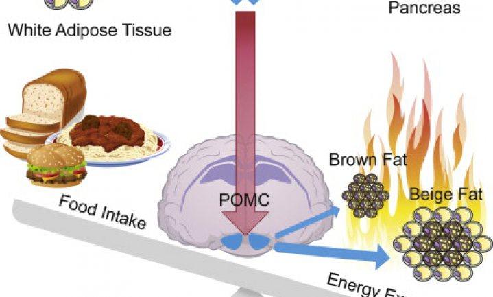 Obesitas verstoort de breingestuurde verbranding van vet