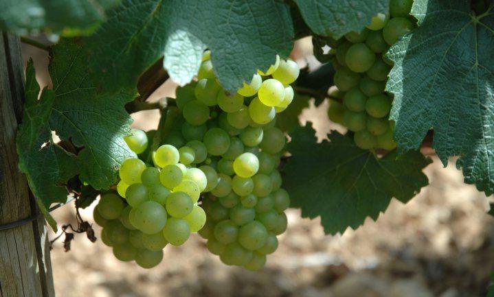 België produceert ruim 60% meer wijn