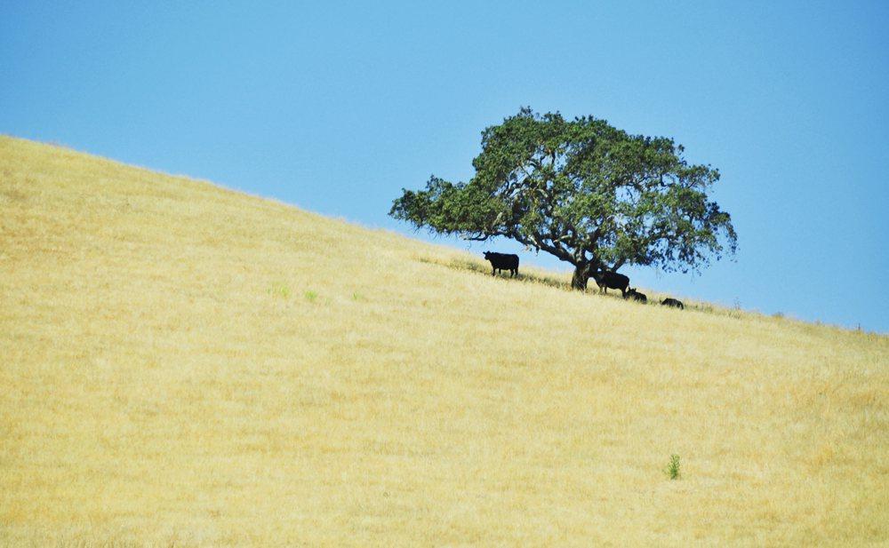 Biologische melkveehouderij in Californië onbetaalbaar geworden