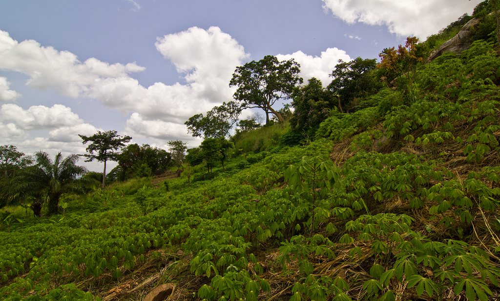 GMO cassave tegen B6 tekort in Afrika
