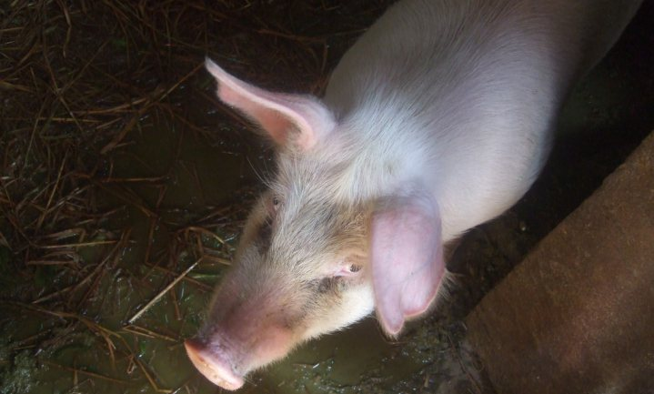 Nederlandse toeleveranciers helpen China aan meer eigen varkens