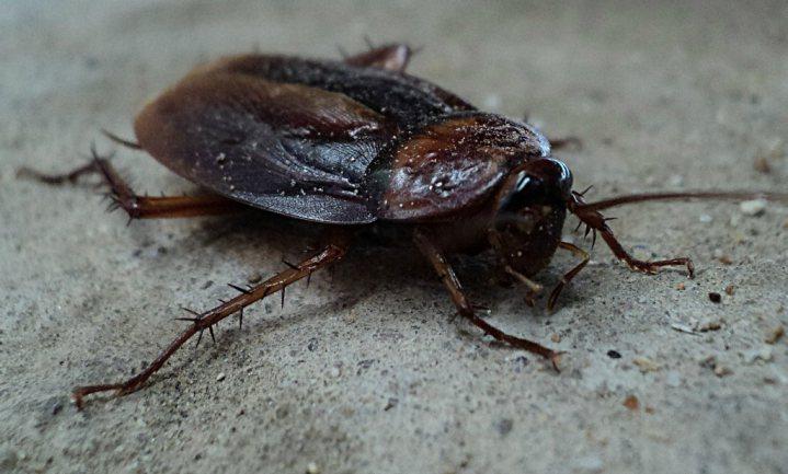 Melk van kakkerlakken, een supereiwit