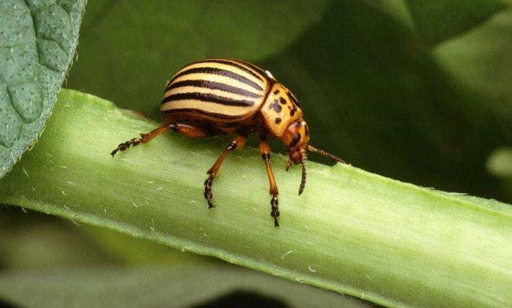 'Amerikanen ontwikkelen insecten als nieuw biologisch wapen'