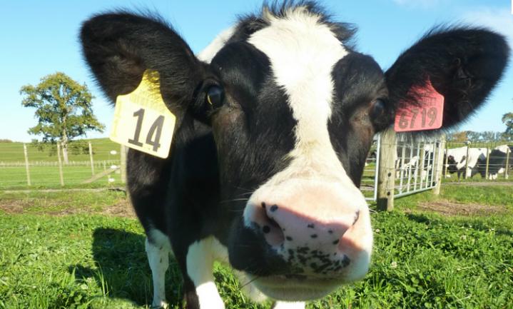 Koe Daisy maakt mensenmelk - waarom?