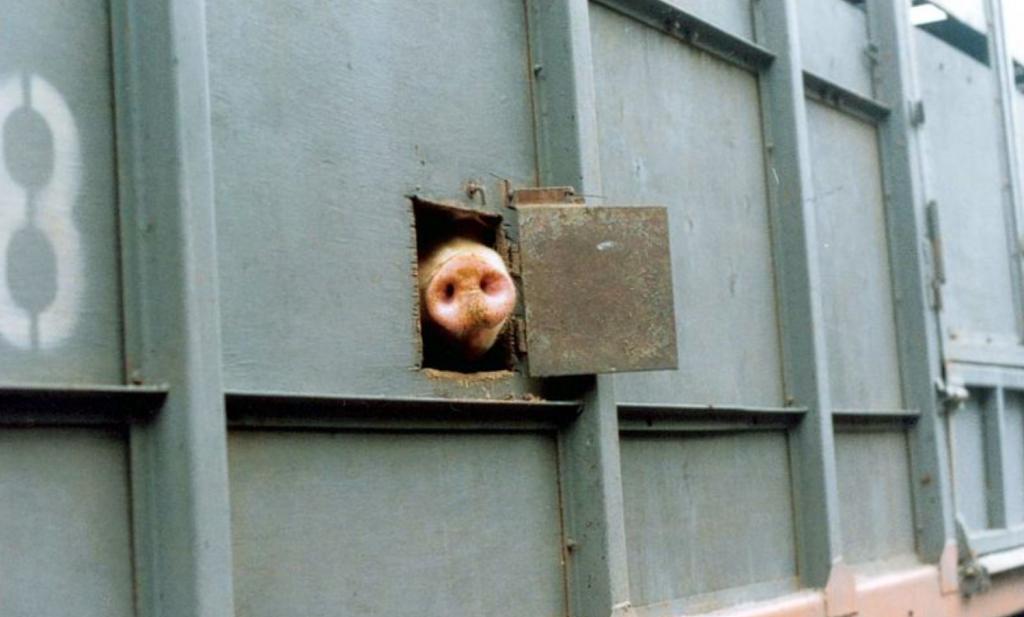Nederland streeft naar hogere Europese standaarden voor dierenwelzijn