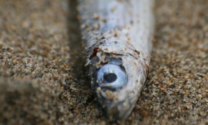 100.000 vissen dood door ammoniak Brabantse mestverwerker