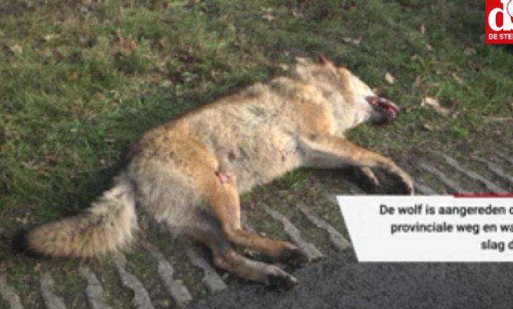 Opnieuw wolf doodgereden in Nederland