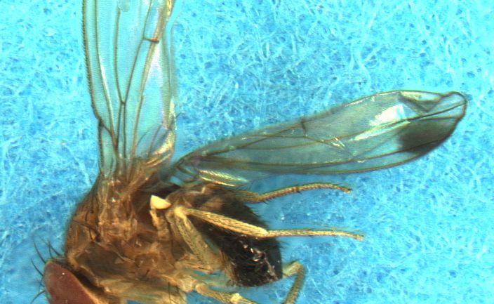 WUR vindt schimmel tegen Suzuki-fruitvlieg