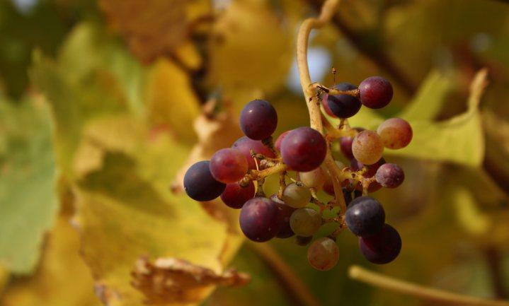 Slechte wijnoogst drijfveer druivendiefstallen Bordeaux