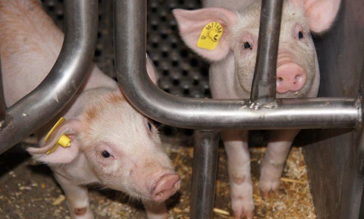 Minder varkens, minder koeien en minder boeren in Duitsland