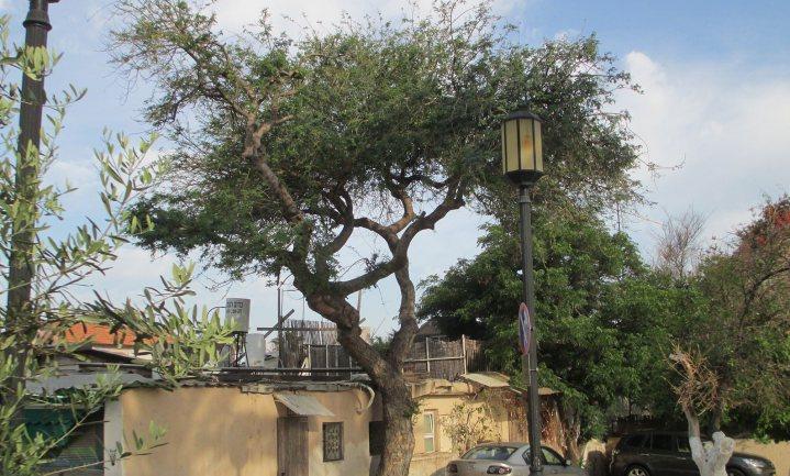Lokale boeren in de Sahel ontdekten pas recent dat bomen planten gratis stikstofmest oplevert