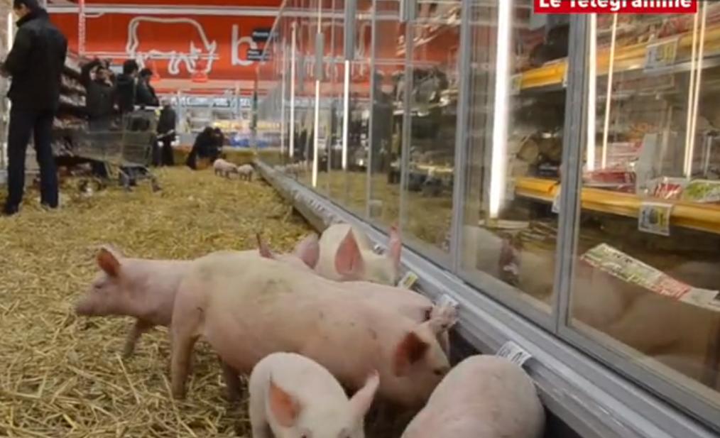 Franse boeren laten biggen los in de super